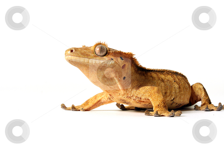 Crested Gecko stock photo, Crested Gecko isolated on white. by Megan Lorenz