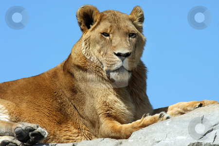 Lioness stock photo, Lioness laying on high rock against blue sky background. by Megan Lorenz