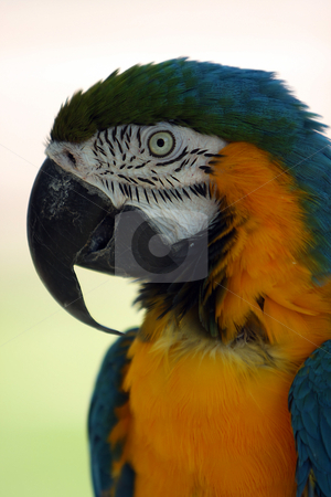Eye To The Soul stock photo, Closeup of a colorful Parrot against blurred background. by Megan Lorenz