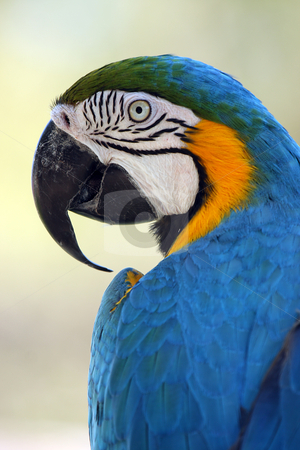 Blue and Gold Macaw stock photo, Closeup of a colorful Parrot against blurred background. by Megan Lorenz