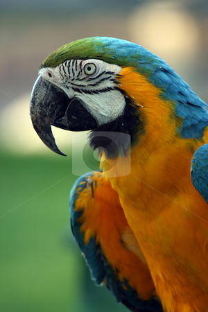 Curious Parrot stock photo, Closeup of a Blue and Gold Macaw against blurred background. by Megan Lorenz