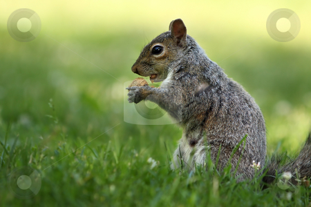 Hungry Squirrel stock photo, Squirrel eating a peanut against a blurred background by Megan Lorenz
