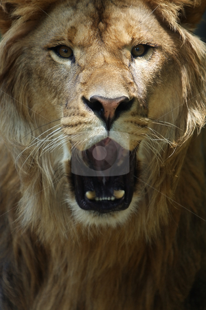 The King stock photo, Male Lion roaring at the camera. by Megan Lorenz