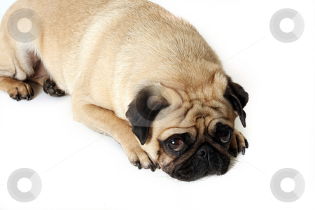 Lonely Pug stock photo, Pug laying on the ground and looking up at the camera.  Isolated on white. by Megan Lorenz