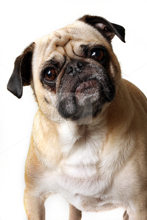 Curious Pug stock photo, Pug staring at the camera and tilting his head.  Isolated on white. by Megan Lorenz