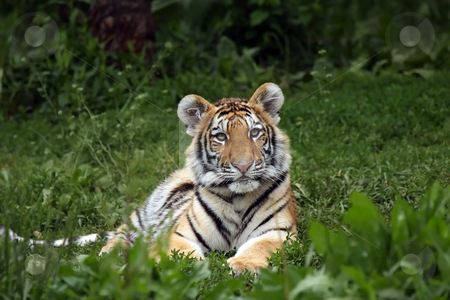 Siberian Tiger Cub stock photo, Young Tiger Cub staring at the camera. by Megan Lorenz