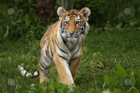 Tiger Cub stock photo, Young Tiger Cub staring at the camera. by Megan Lorenz