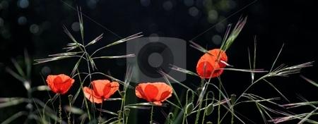 Poppy stock photo, Red poppy on landscape by Sinephot