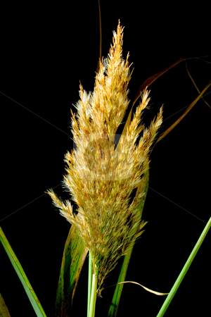 Grass of the pampa stock photo, Grass of the pampa on black background by Sinephot