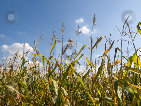 Corn field  stock photo, Corn field at the end of Summer by Laurent Dambies