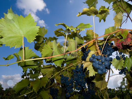 Vineyard with dark grapes stock photo, Vineyard with dark grapes fill in flash by Laurent Dambies