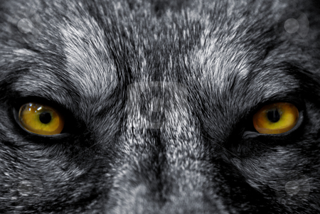Eyes of wolf stock photo, Beautiful eyes of a wild wolf: dangerous mammal by Bonzami Emmanuelle