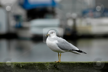 Stock Photo of a Sea Gull in Olympia Washington stock photo, A lone Seagull appears to stand sentry over the Southern Puget Sound at Percival's Landing in Olympia, WA. by Tim Thompson