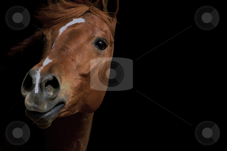 Looking stock photo, From the darkness of it's stall, this horse peers out towards the arena during an equestrian event in Wenatchee, Washington. by Tim Thompson