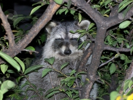 Racoon stock photo, Racoon sitting in a tree by CHERYL LAFOND