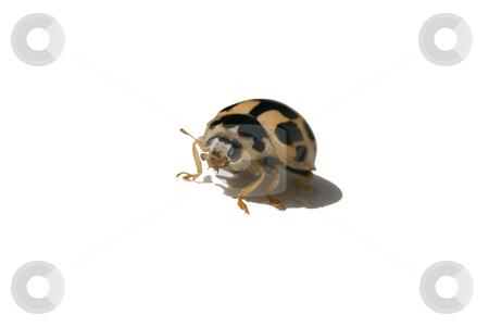 Yellow ladybug stock photo, Ladybug isolated on white with casted shadow by Laurent Dambies