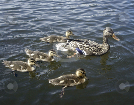 Family of Ducks stock photo, July 12, 2003 : A family of ducks could be seen swimming near the boat-launch of Kitsap Lake in Bremerton, Washington. by Jesse Beals