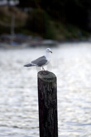 Seagull on a piling stock photo, July 17, 2003 : A Seagull could be seen resting on a old dock pier at the Illahee fishing pier.  The view from Illahee fishing pier on a sunny day can offer some breath taking pictures in Bremerton, Washington by Jesse Beals