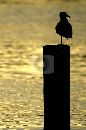 Silhouetted Seagull stock photo, October 10, 2003 :   A seagulls resting on a pole is Silhouetted on the water of Dyes Inlet as the sun set over the brothers mountains putting off a golden glow over the water along Lions Park beach in Bremerton, Washington.. by Jesse Beals