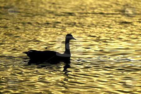 Golden Canadian Goose stock photo, October 10, 2003 :   A Canadian Geese is Silhouetted on the water of Dyes Inlet as the sun set over the brothers mountains putting off a golden glow over the water along Lions Park beach in Bremerton, Washington.. by Jesse Beals
