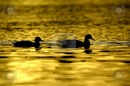Golden Ducks stock photo, October 10, 2003 :   A flock of  ducks could be seen swimming in Dyes Inlet as the sun set over the brothers mountains putting off a golden glow over the water along Lions Park beach in Bremerton, Washington.. by Jesse Beals