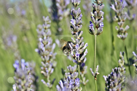 Honey bee stock photo, Honey bee by Rafael Franceschini
