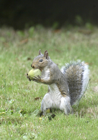 Squirrel with a nut stock photo, A squirrel looks for a spot to hide it's walnut in Tracyton on Wednesday. by Jesse Beals