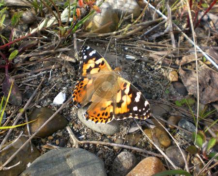 Butterfly in morning sun stock photo,  by J.G. Byers