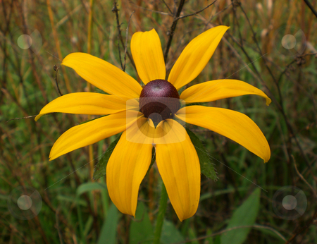 Rudbeckia hirta stock photo,  by J.G. Byers