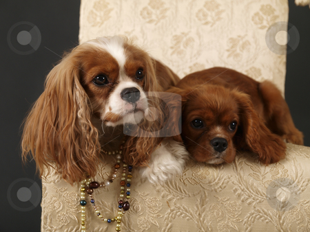 Dogs stock photo, Stock photo of two King Charles Cavalier puppies wearing strings of pearls by Maria Bell