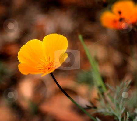 California Poppy stock photo, Beautiful native orange California Poppy with a brown background. by Henrik Lehnerer