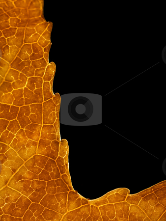 Beautiful autumn leaf stock photo, Macro of a beautiful autumn  leaf back lit isolated on black by Laurent Dambies