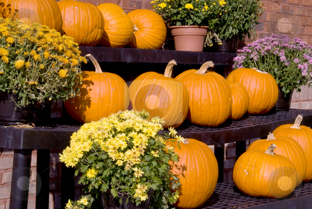 Pumpkins stock photo, A large selection of plump and juicy holliday pumpkins. by Robert Byron