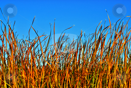 Reeds stock photo, A wall of reeds or grass, with blue sky above by Richard Nelson