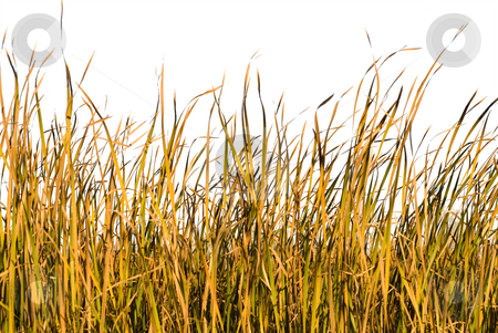 Isolated Grass stock photo, Long blades of grass and reeds isolated against a white background by Richard Nelson