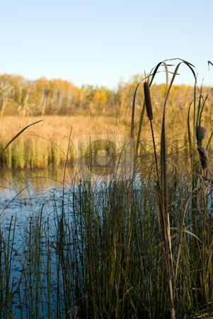 Bullrushes stock photo, A small marsh with bullrushes on the edge by Richard Nelson