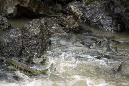 Chum Salmon stock photo, October 9, 2003 : The Chico Creek in Bremerton, Washington is known for it's large numbers of returning Chum Salmon each year.  Fisherman wanting to catch a Chum Salmon are only allowed to fish from the mouth of the river, this way the Chum Salmon have a chance to spawn each year with out losing numbers in the returns. by Jesse Beals