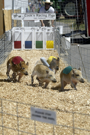 Cook's Racing pigs stock photo, August 21, 2003 : Cook's Racing pigs was a crowd favorite at the Kitsap County Fair in Bremerton, Washington.  The pigs raced for treats of ice cream. by Jesse Beals