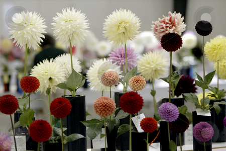 The Dahlia flower show stock photo, August 2, 2003 : The Dahlia flower show in Bremerton, Washington brings out contestants from all over the region to compete in the Dahlia flower show showing off all types of colors and sizes of Dahlia flower. by Jesse Beals