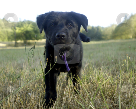 Black Lab stock photo, July 28, 2003 : A young black lab puppy enjoyed the open fields of Howe Farm Dog Park in Port Orchard, Washington.  Howe Farm is a park were dogs can run around with out a leash on. by Jesse Beals