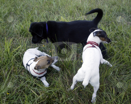 Puppies stock photo, July 28, 2003 : A group of puppies enjoyed the open fields of Howe Farm Dog Park in Port Orchard, Washington to play.  Howe Farm is a park were dogs can run around with out a leash on. by Jesse Beals