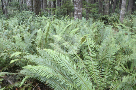 Wild Ferns stock photo, October 10, 2003 :  A field of wild ferns could be seen growing in the woods of Guillemot Cove in Seabeck, Washington. by Jesse Beals