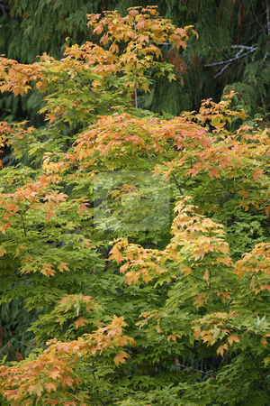 Fall Leaves stock photo, October 10, 2003 :   The leaves on trees in Guillemot Cove in Seabeck, Washington changed colors from bright green to a rusty red color as fall neared. by Jesse Beals