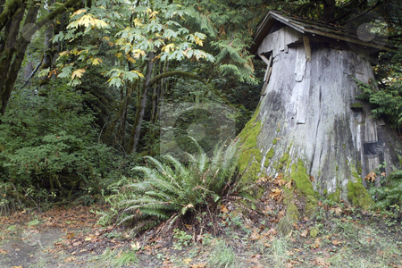 Stump Cabin stock photo, October 10, 2003 :   A giant stump was turned into a make shot cabin at the Guillemot Cove park in Seabeck, Washington. The stump has a door and room on it and could be a safe shelter for somebody if a shelter was needed. by Jesse Beals