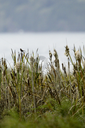 Cat Tails stock photo, October 10, 2003 :   A small bird rests along top of a cat tail at the Guillemot Cove park in Seabeck, Washington. by Jesse Beals