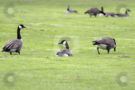 Canadian Geese stock photo, August 20, 2008:   A flock of Canadian Geese could be seen resting on the softball fields at South Kitsap high school in Port Orchard, Washington.  The Canadian Geese look for insects to eat on the grassy fields. by Jesse Beals