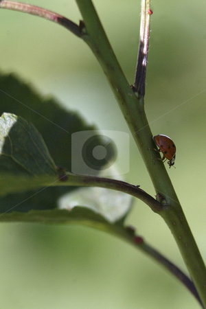 Lady Bug stock photo, July 9, 2008 A lady bug could be scene walking down the tree branch on  warm sunny day in Tracyton, Washington.  Lady Bugs are known t be great insects to have around the home and garden because they eat insects that can harm your plants. by Jesse Beals