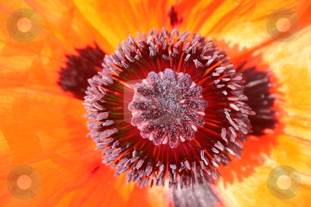 Macro Flower stock photo, Close up of an orange flower in summer by Jeff Crowe