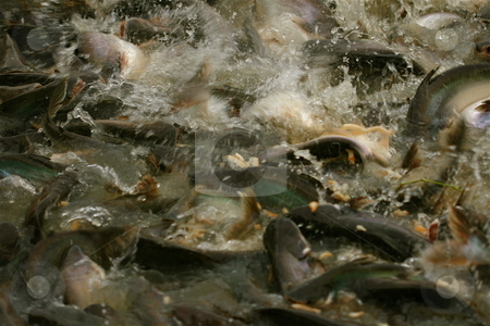 Fish Frenzy stock photo, Fish fight for food by Jeff Crowe