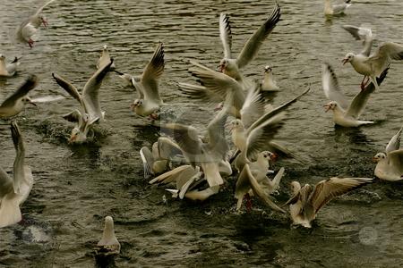 Gulls attacking stock photo, A swarm of gulls attacking food in the River Thames in Windsor by Jeff Crowe